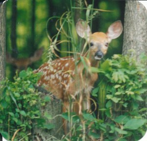 fawns_0003