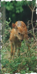fawns_0006