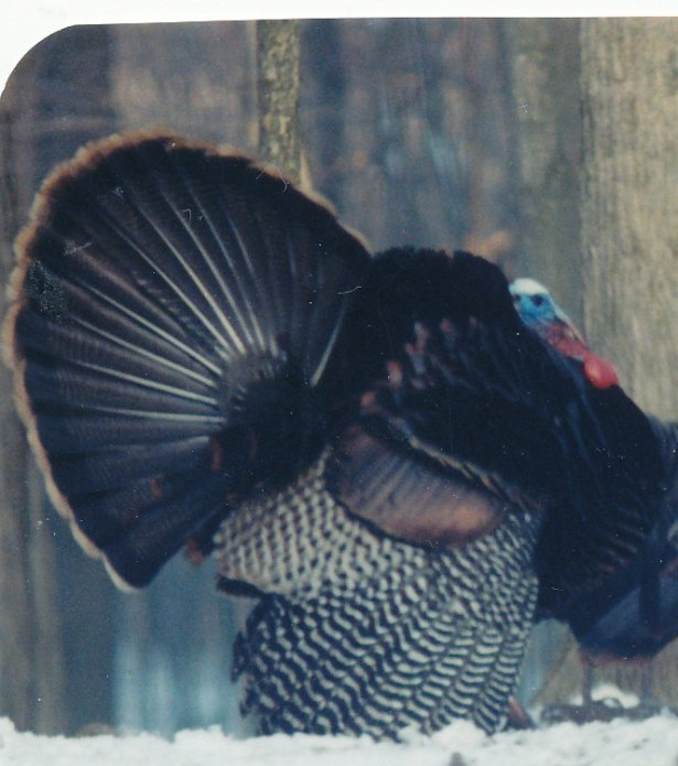 turkeys_0003-001