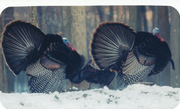 turkeys_0003