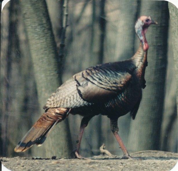 turkeys_0005