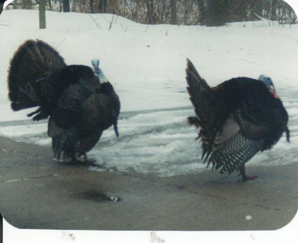 turkeys_0007