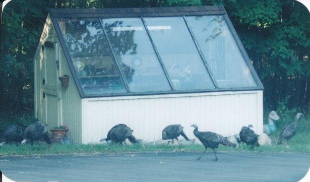 turkeys_0012
