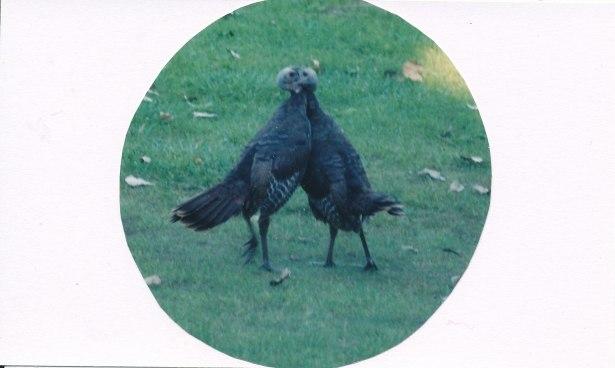 turkeys_0015