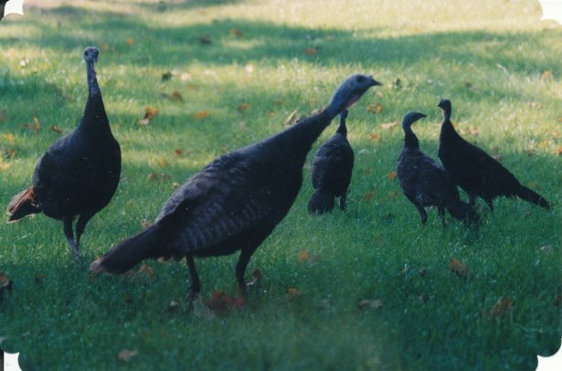 turkeys_0017