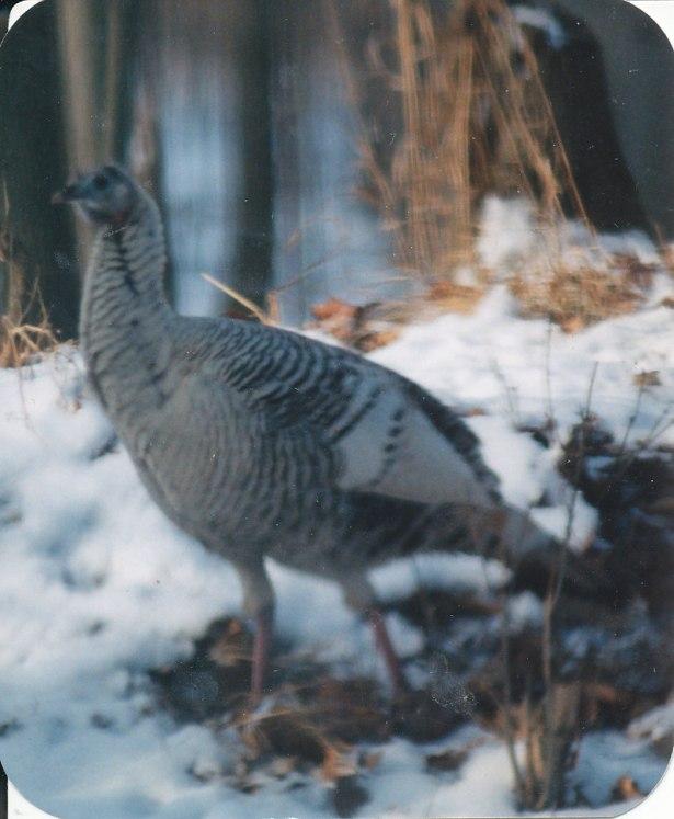 turkeys_0021